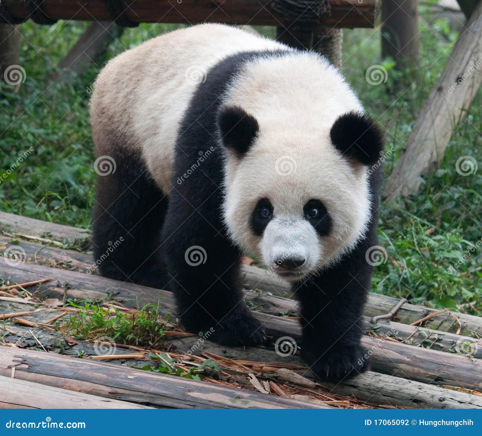 ours de panda g ant mignon photographie stock image 17065092. Black Bedroom Furniture Sets. Home Design Ideas