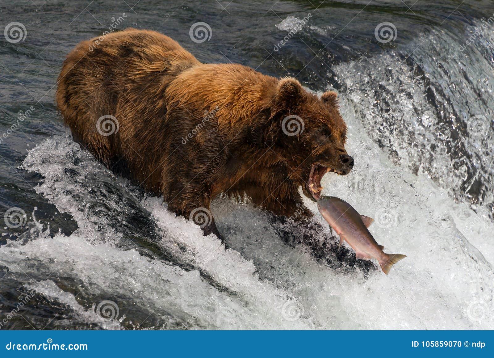 Ours environ pour attraper des saumons dans la bouche