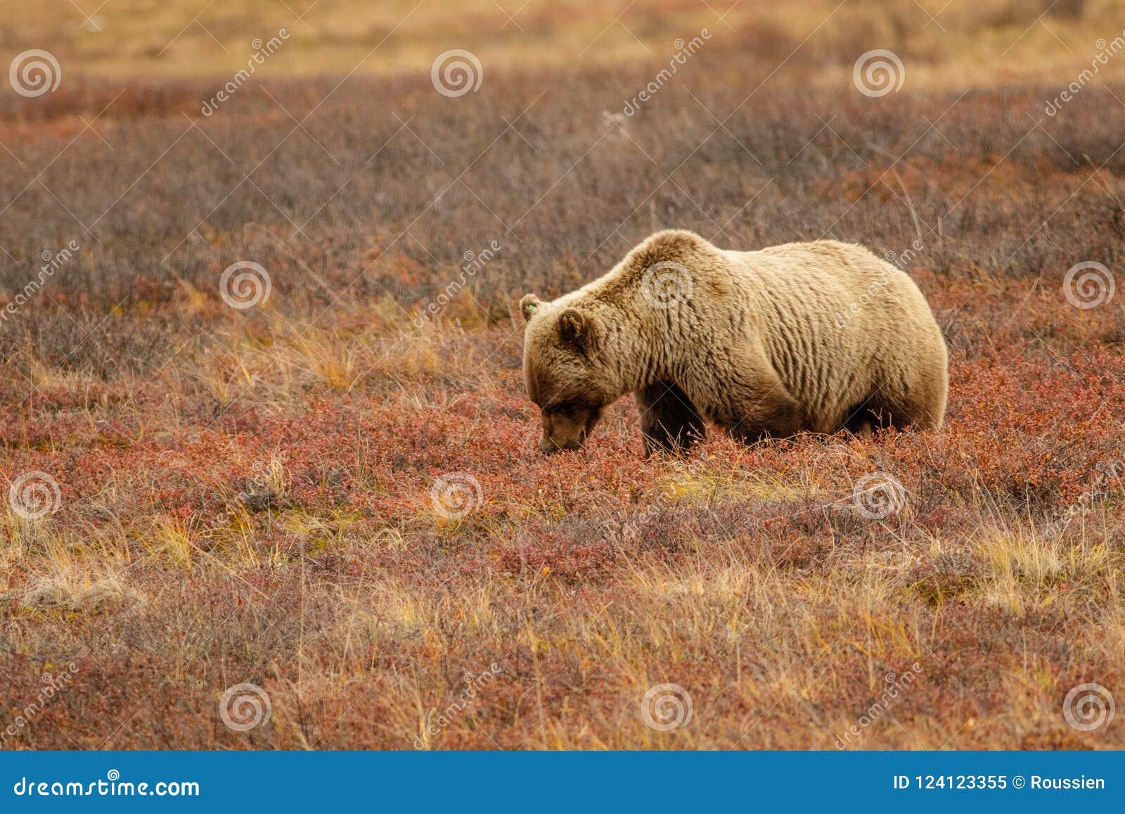 Ours gris dans la toundra d Alaska en parc national de Denali