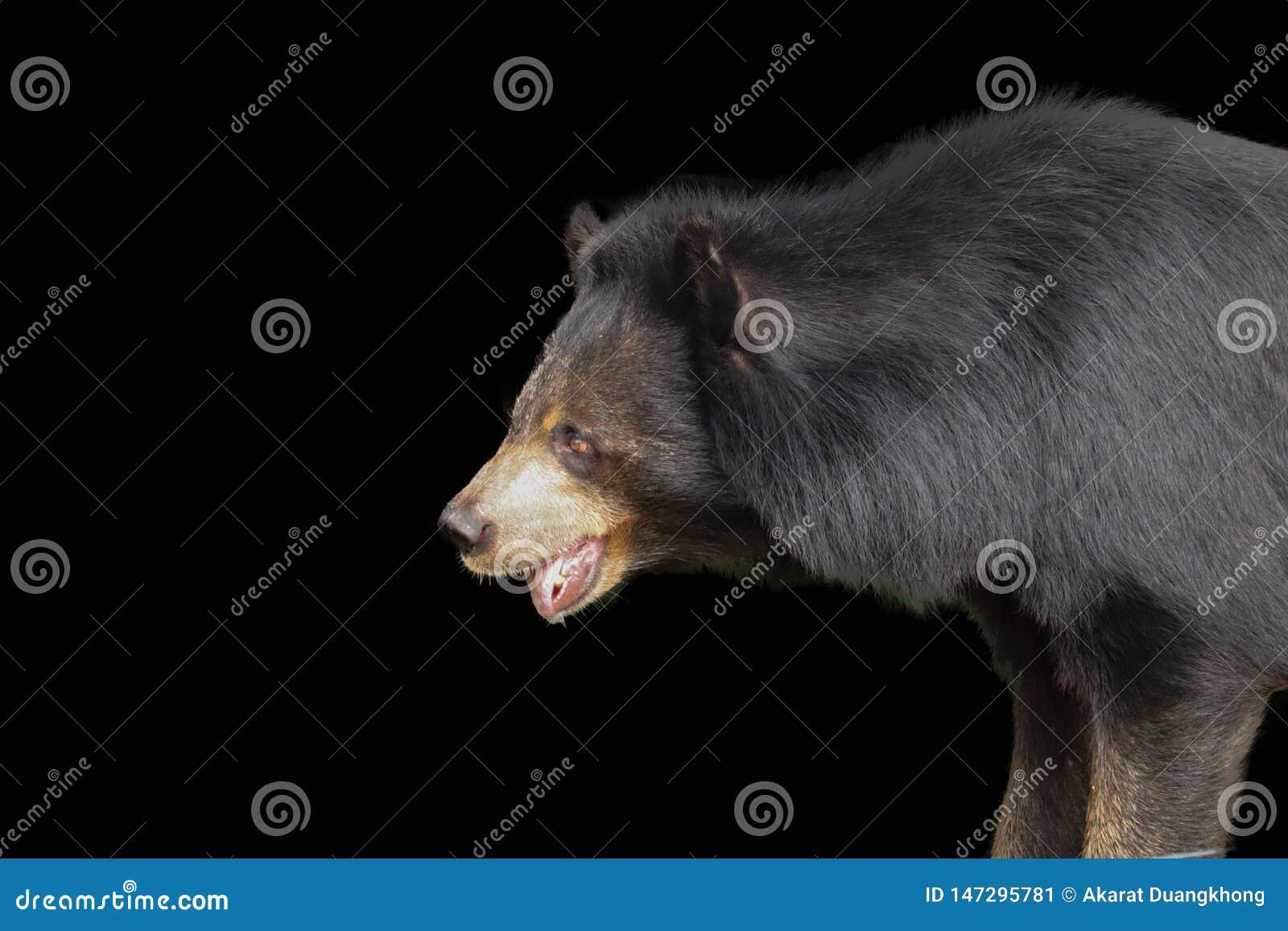 Ours noir asiatique d isolement