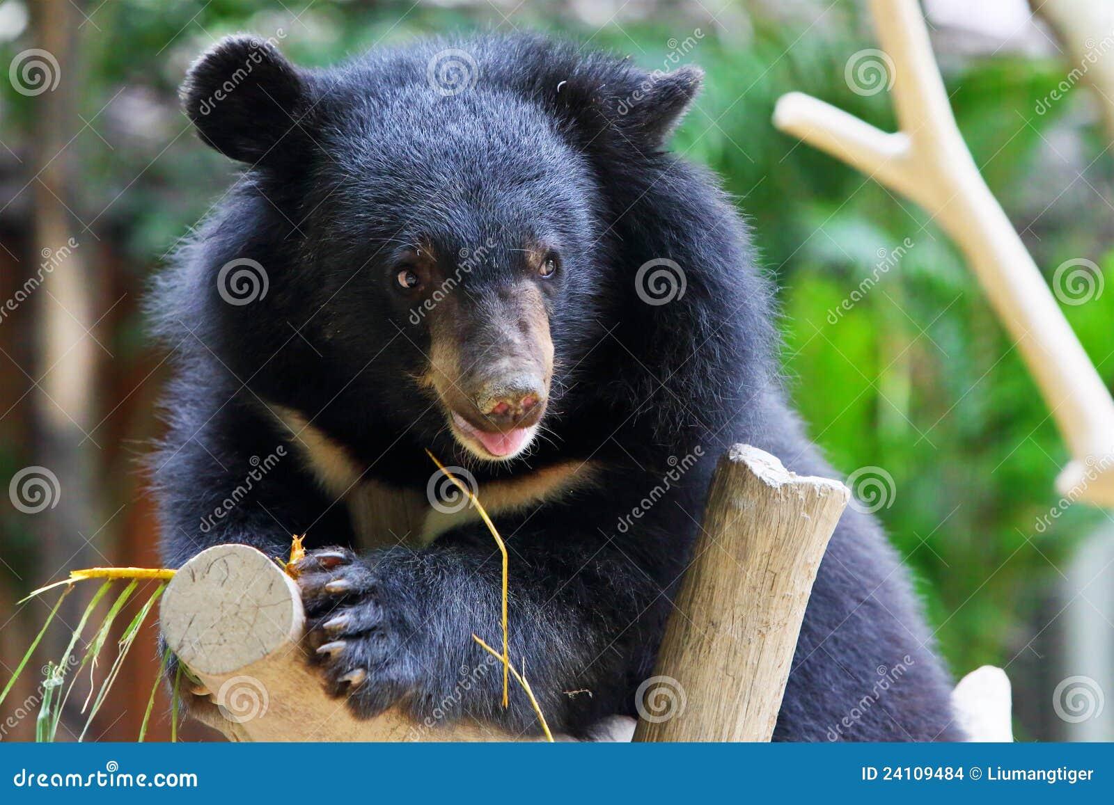 Ours noir de chéri