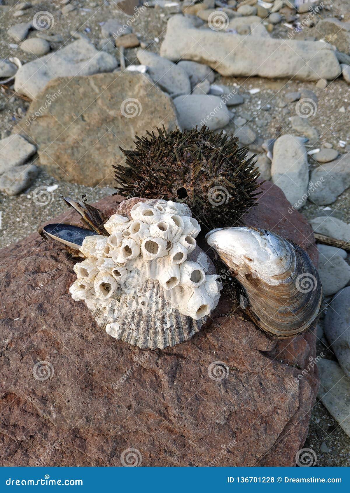 Oursins et coquilles sur la pierre Tubes sur la coquille