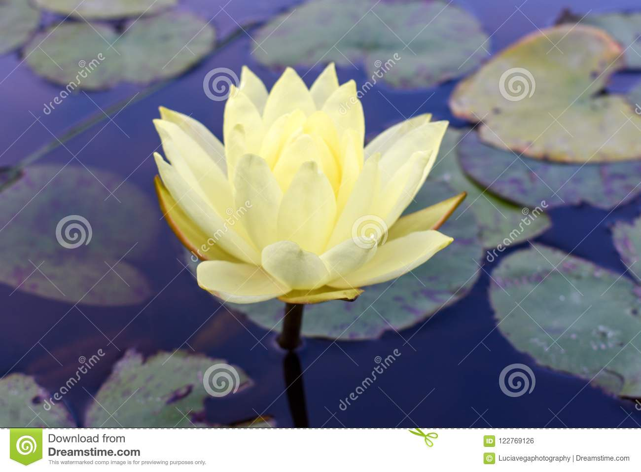 Perfect lotus flower and its leaves stock photo image of flower download perfect lotus flower and its leaves stock photo image of flower outdoors izmirmasajfo