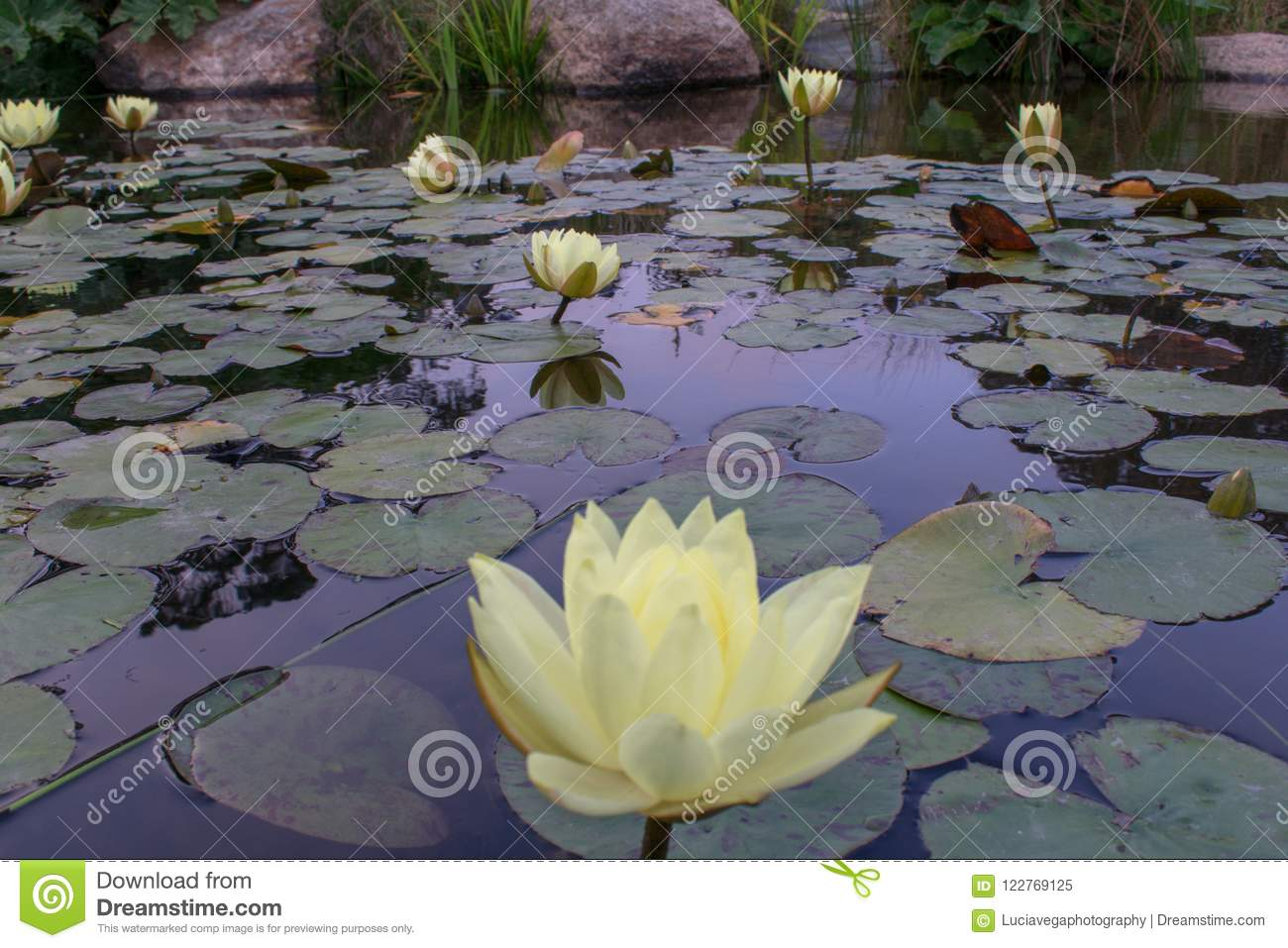 Rising lotus flowers from a fountain stock image image of download rising lotus flowers from a fountain stock image image of background lotus izmirmasajfo