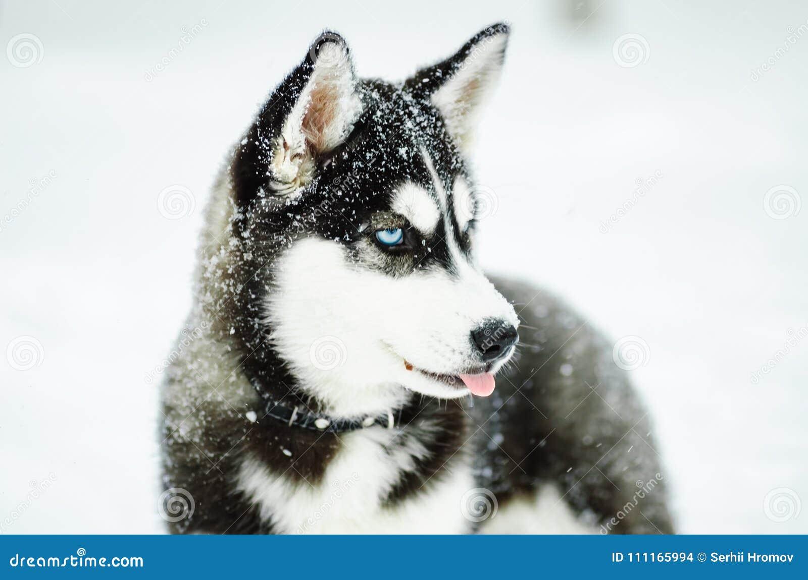 Outdoors portret Alaskiego Malamute pies, siedzący na śniegu, patrzeje daleko od