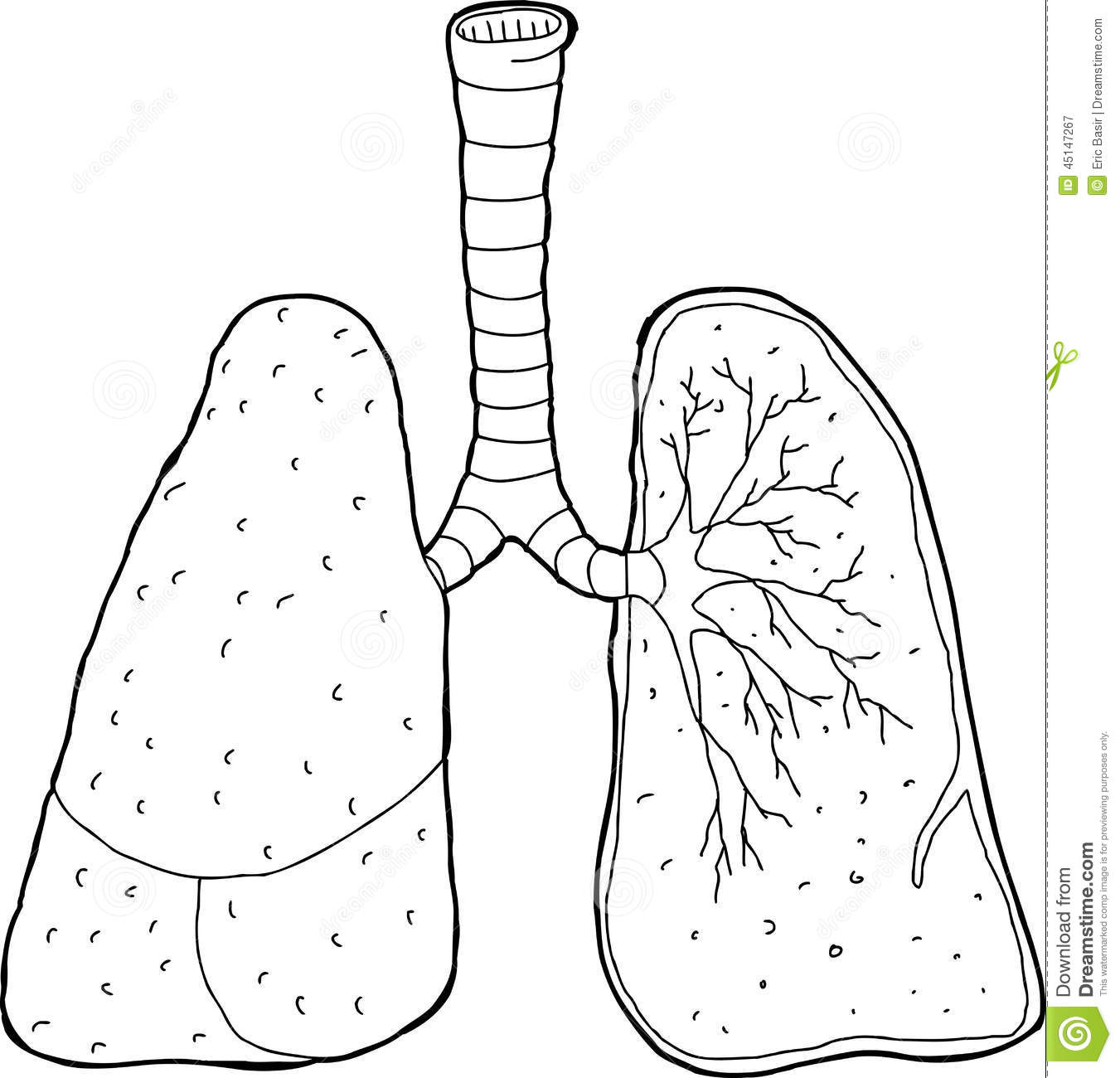 outlined cross section lungs stock vector