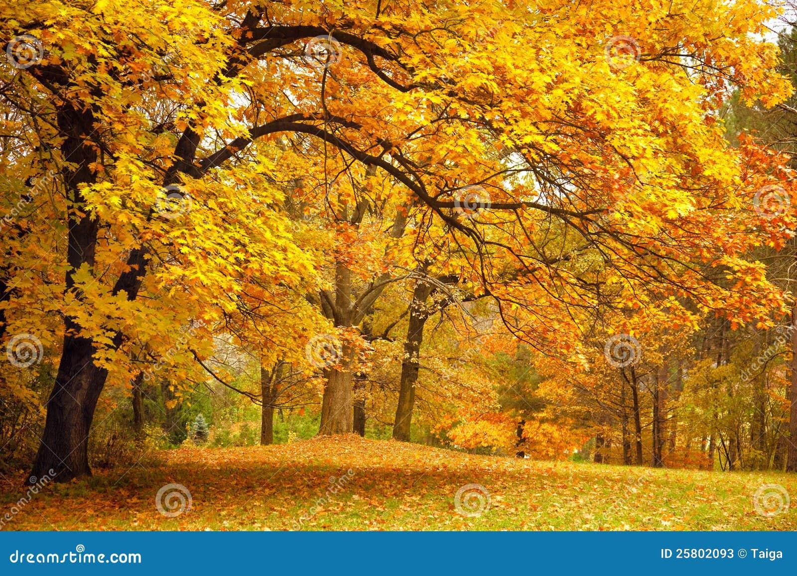 Outono/árvores do ouro em um parque