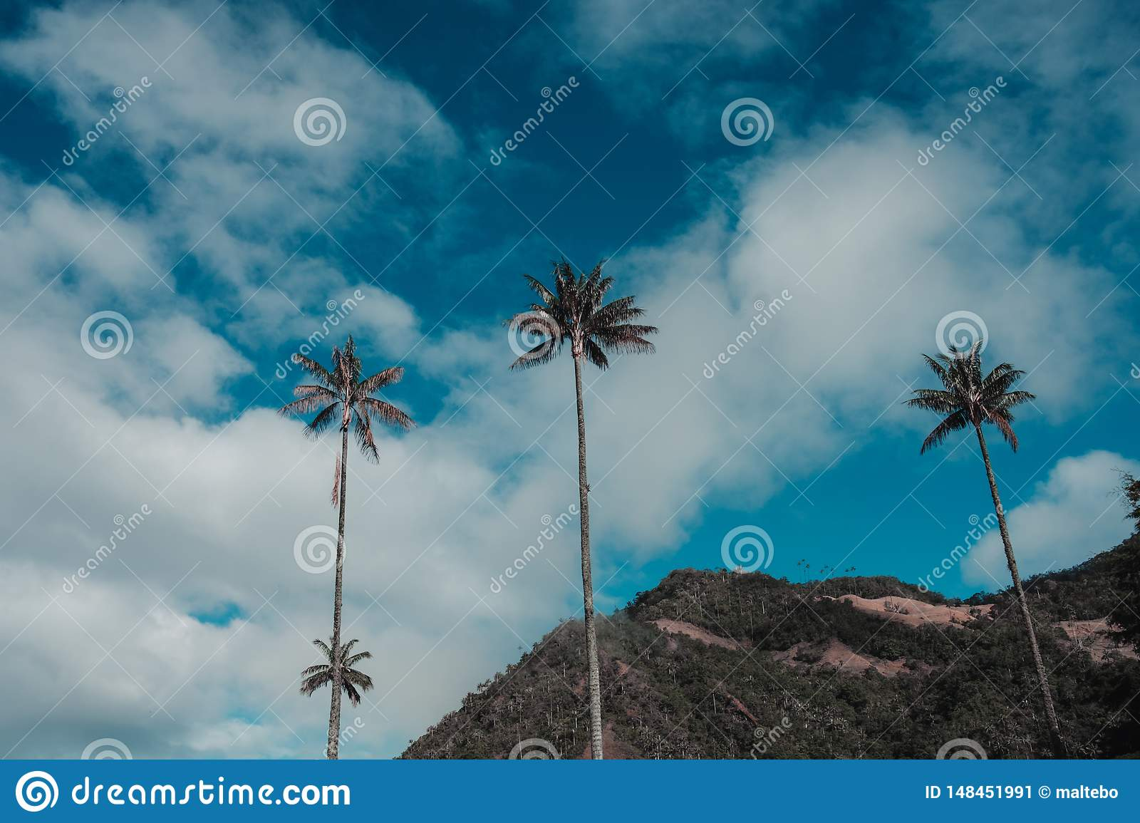 Tall palm trees in the valle de cocora