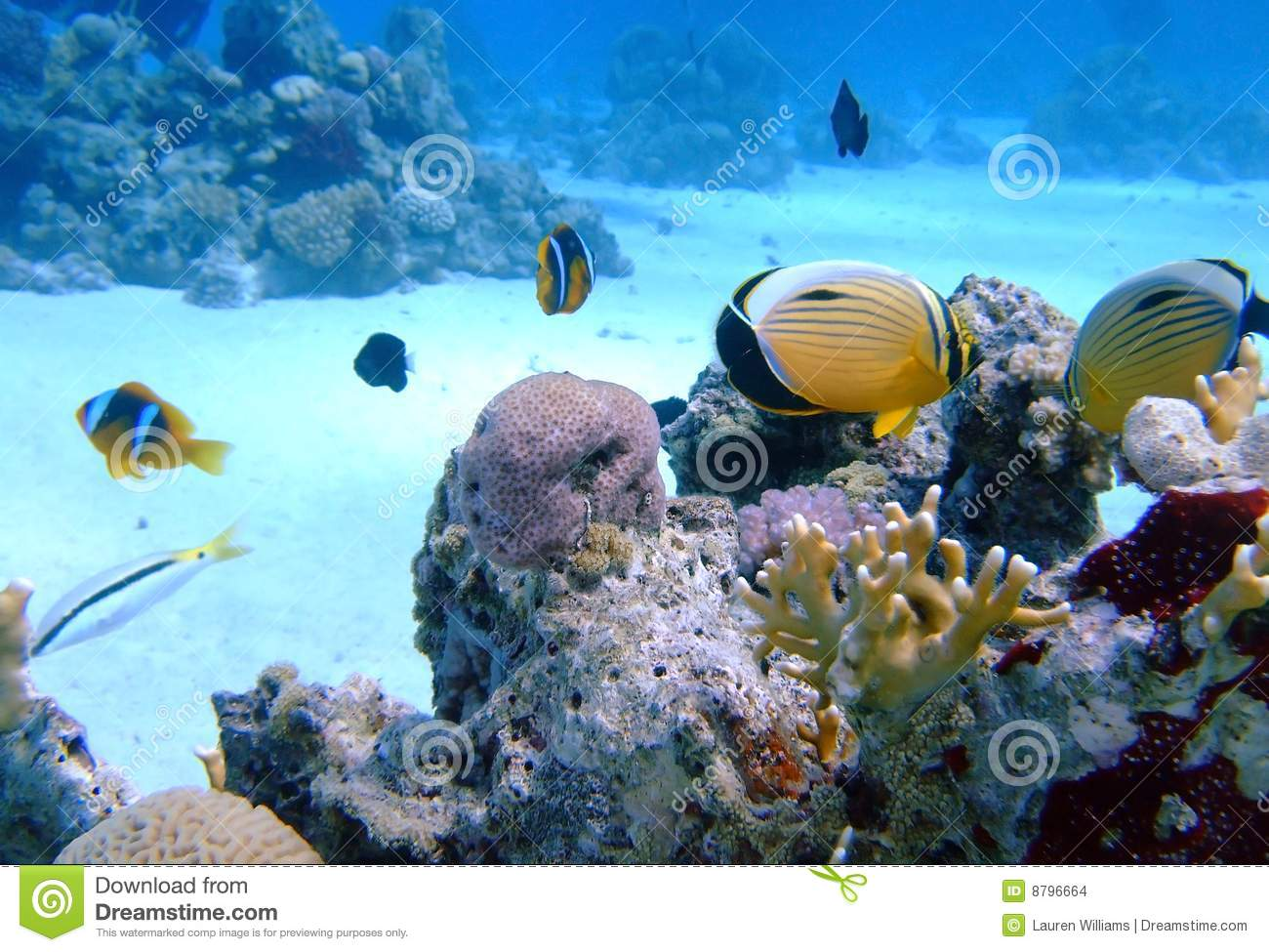 Oval butterflyfish - photo#15