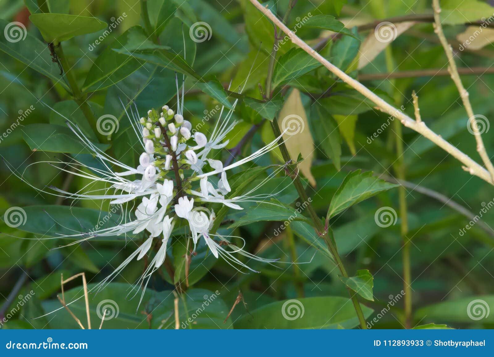 Ovanlig, härlig vit blomma med lilaspetsar, i en frodig thailändsk trädgård