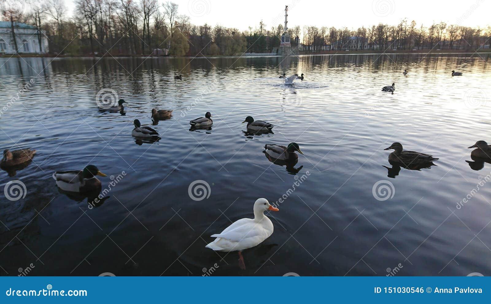 Ovanlig ljuv vit and bland vanlig simning i dammet med härligt höstlandskap i bakgrund