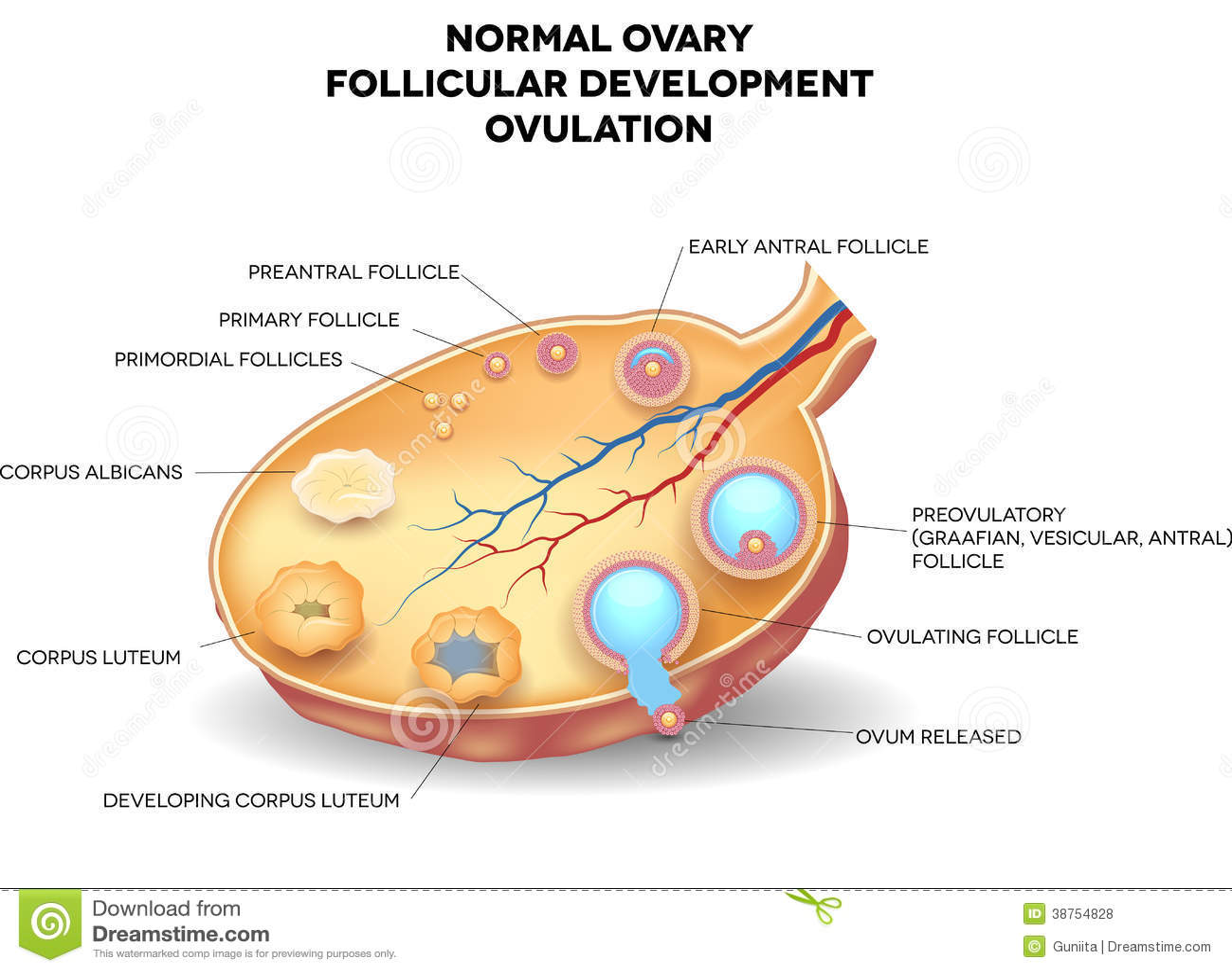 Gata El Cuidado Del Cuerpo: Ovario Normal, Desarrollo Folicular Y Ovulación Stock De