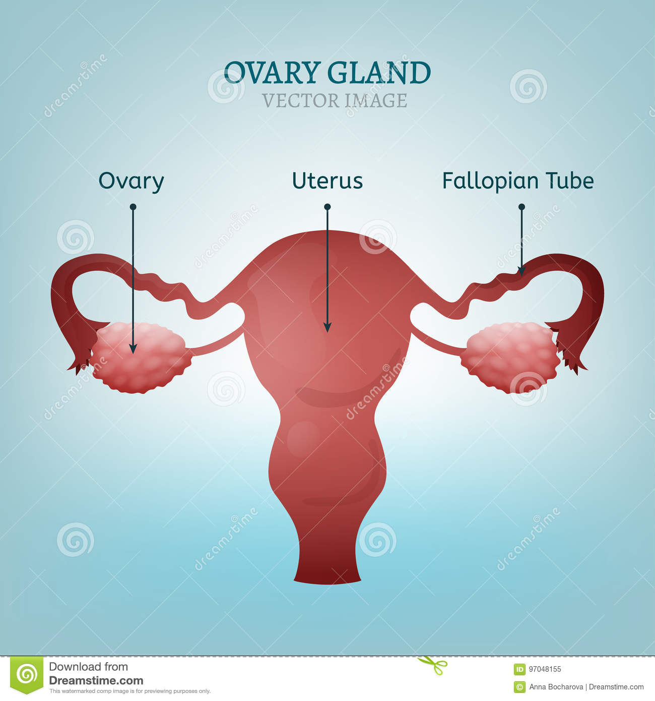 Ovary Gland Image Stock Vector Illustration Of Ovary 97048155