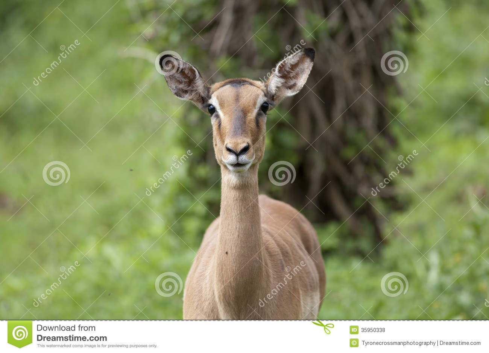 Oveja del impala