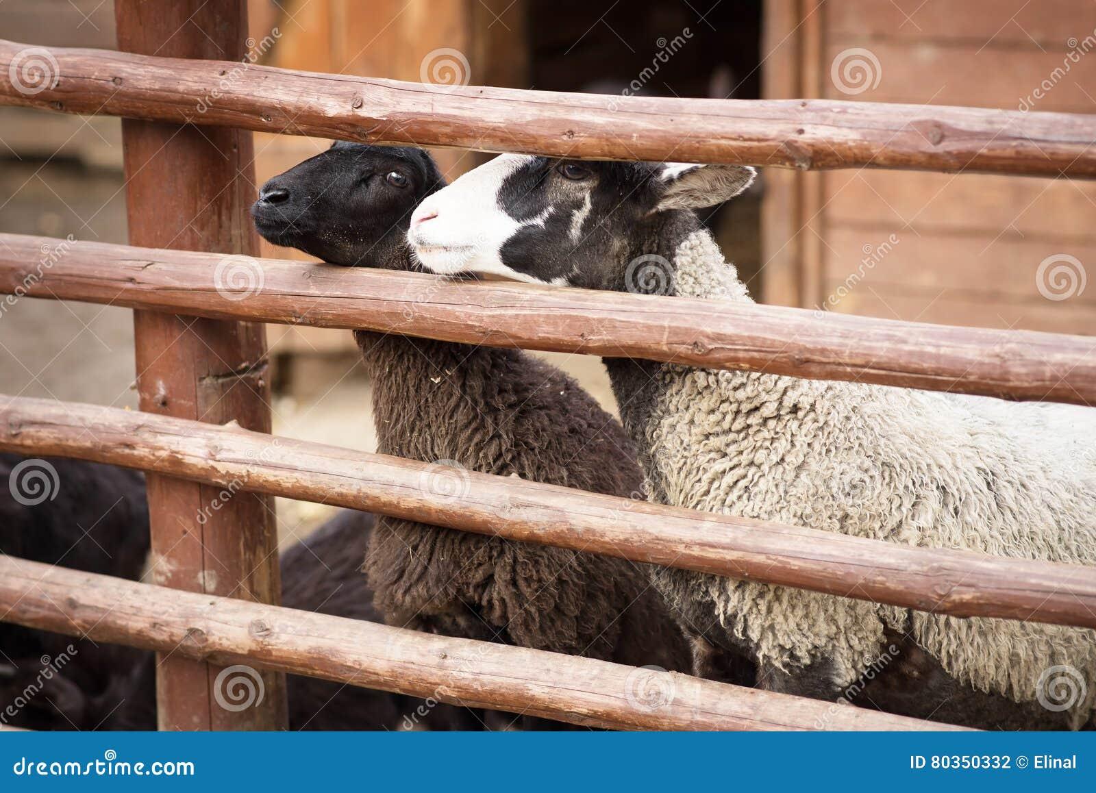 Ovejas, animal del campo nacional detrás de la cerca Granja