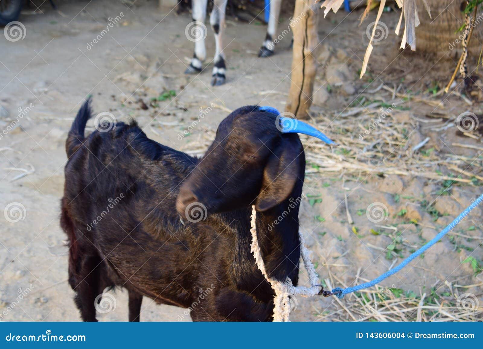 Ovejas de la cabra