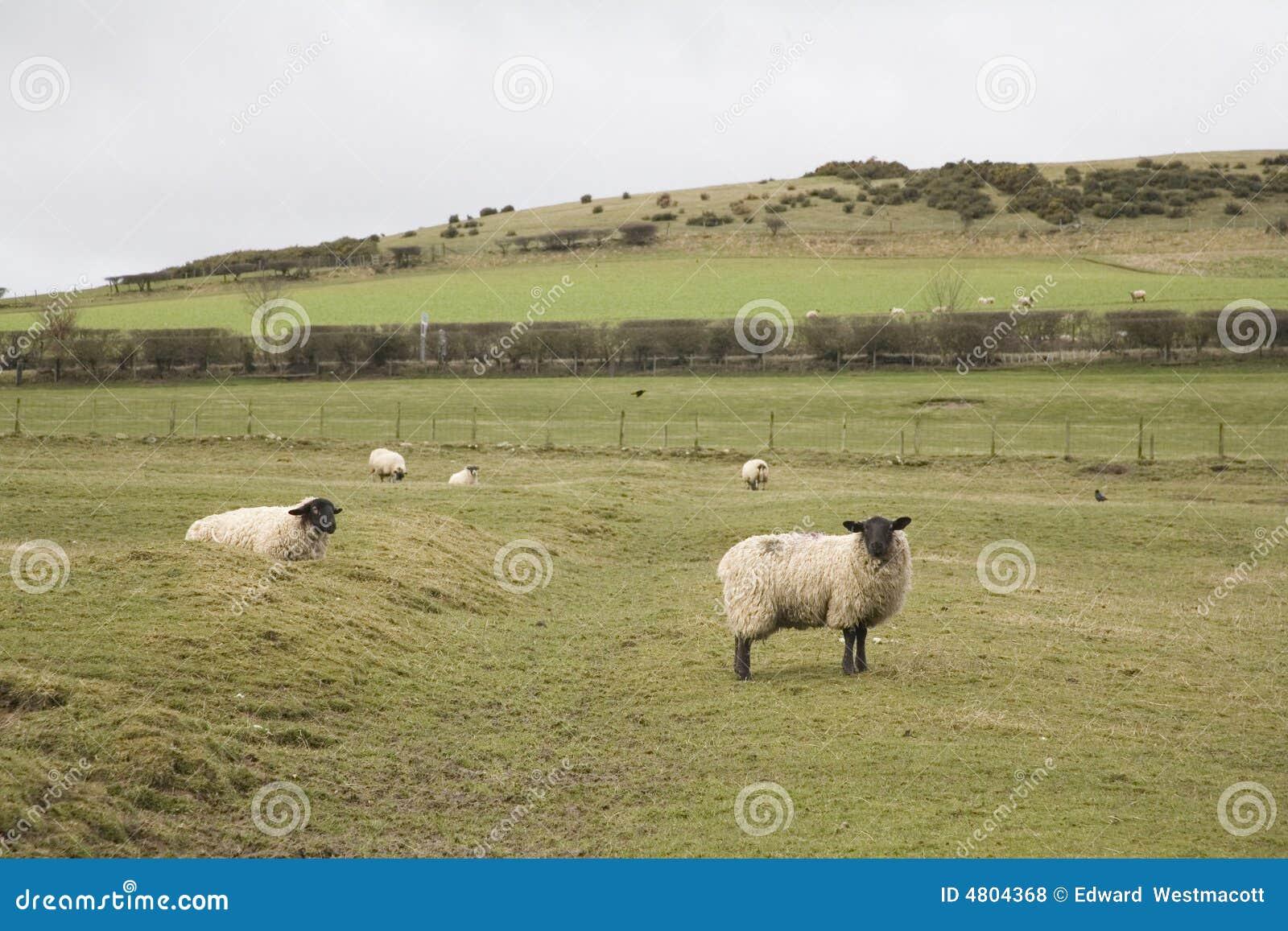 Ovejas Northumberland