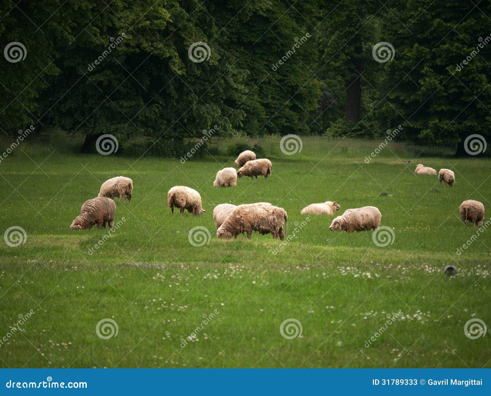 Ovejas que pastan en hierba verde