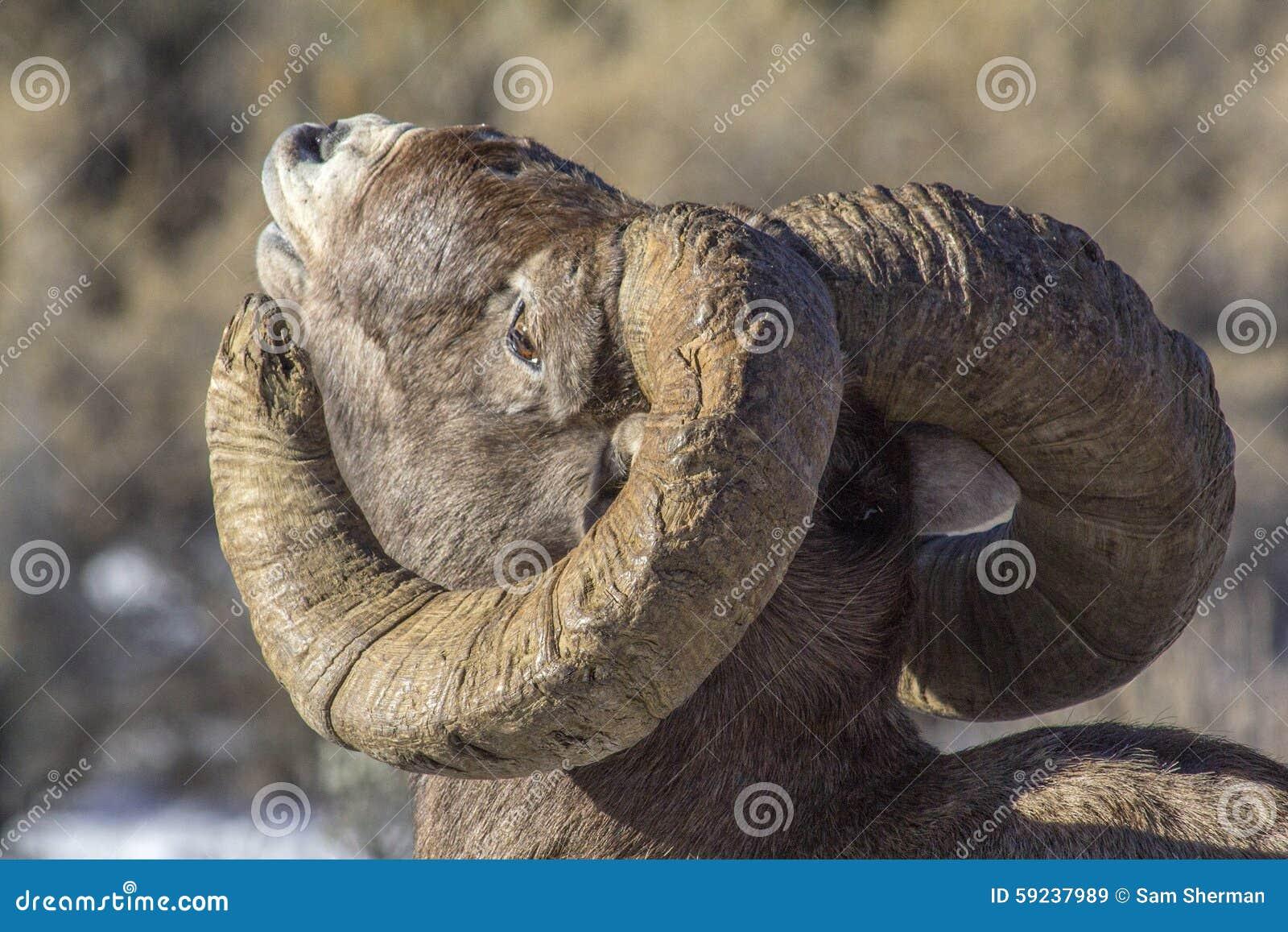 Ovejas Ram Sniffing del Big Horn el aire