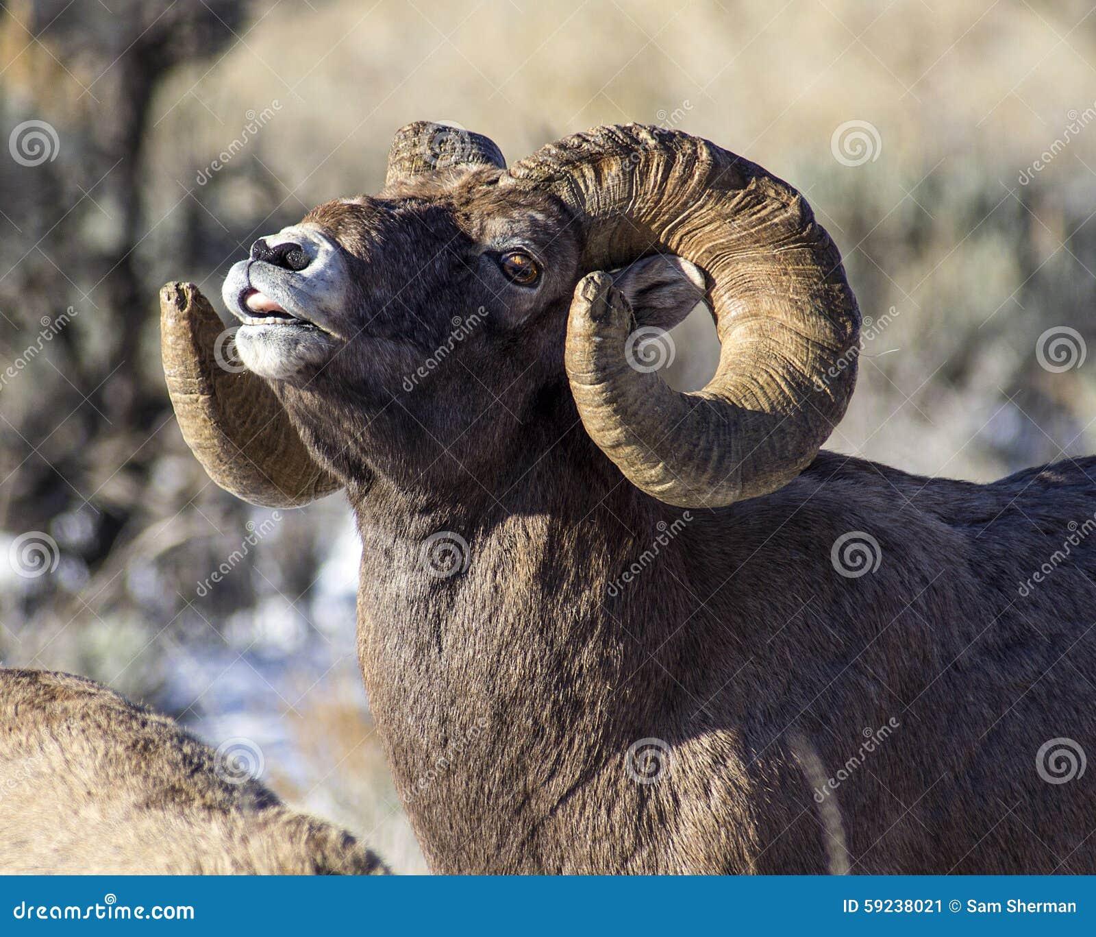Download Ovejas Ram Sniffing Del Big Horn El Aire Imagen de archivo - Imagen de critter, california: 59238021