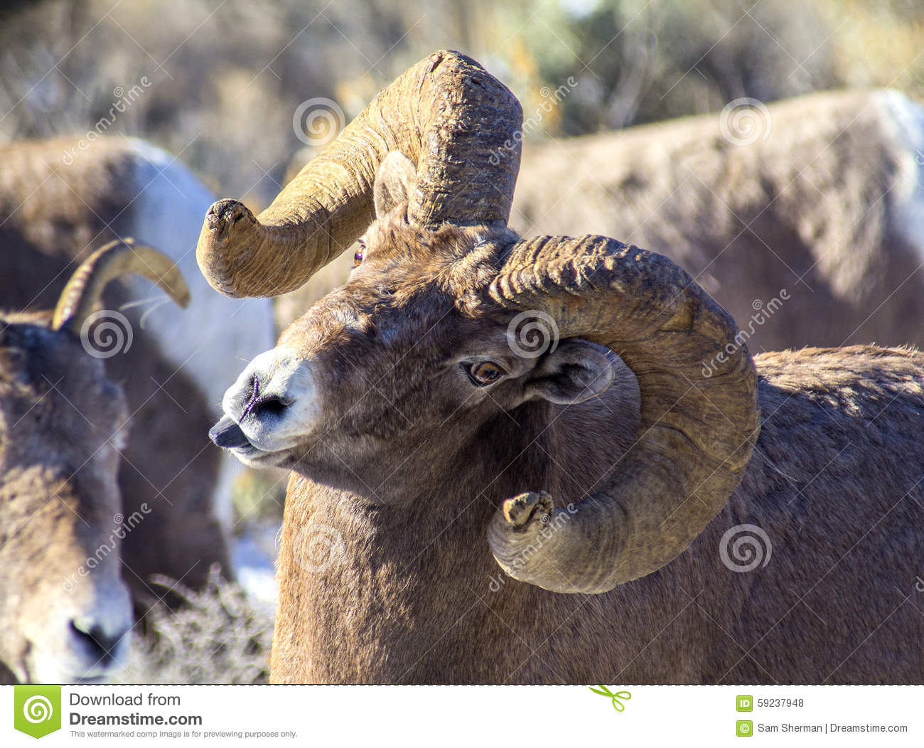 Ovejas Ram Sticking Tongue Out del Big Horn