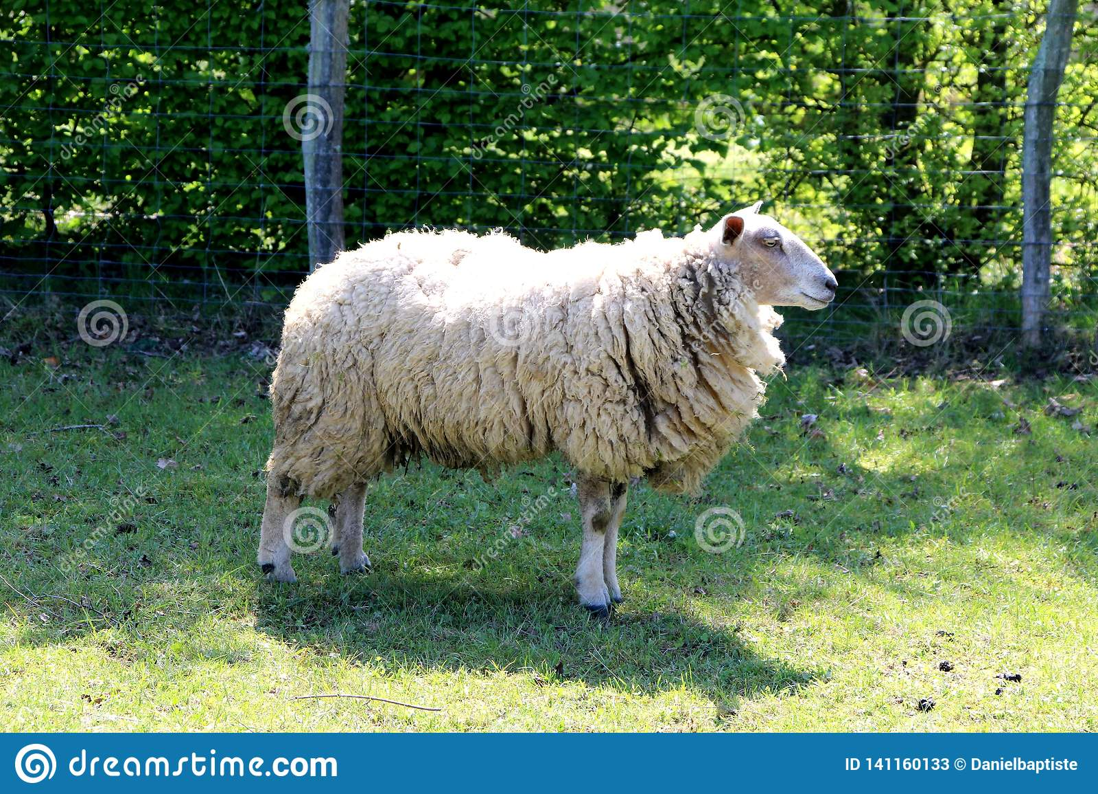 Ovejas, una oveja en un campo en verano