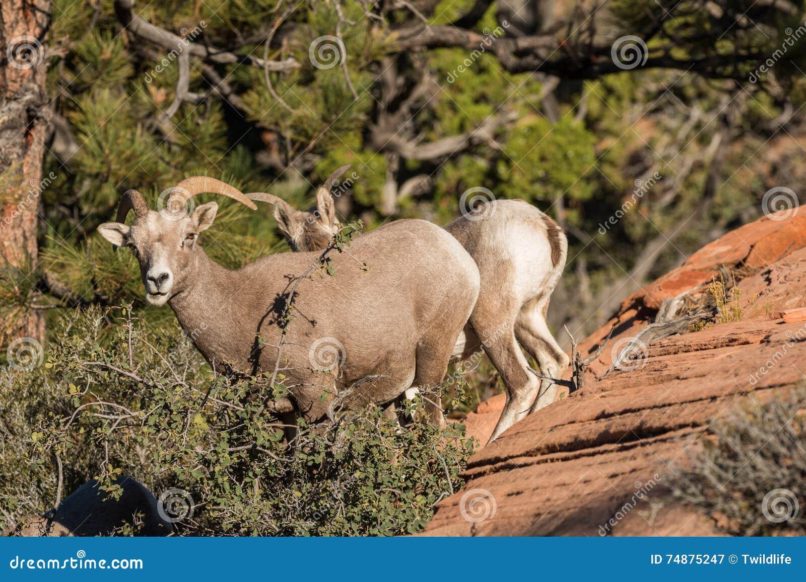 Ovelha dos carneiros de Bighorn do deserto