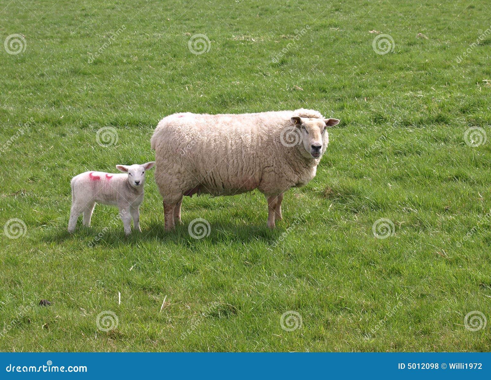 Ovelha e cordeiro