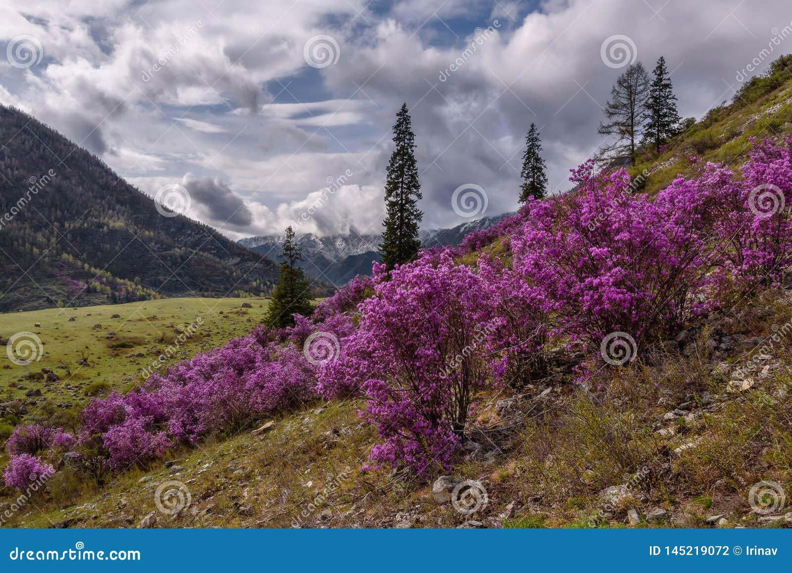 Overcast весны горы рододендрона