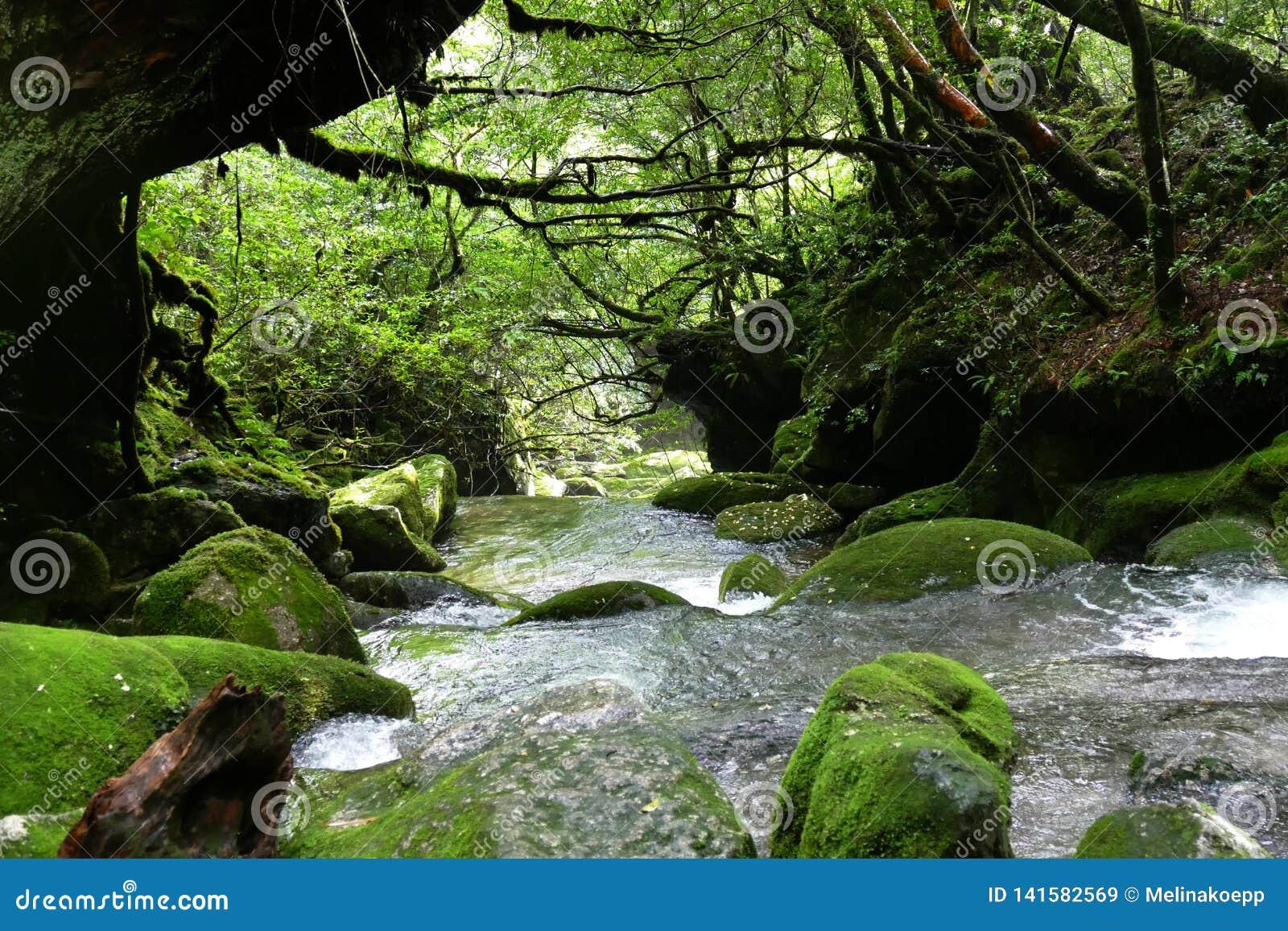 Overgaand door een stroom in het bos van Yakushima, Japan