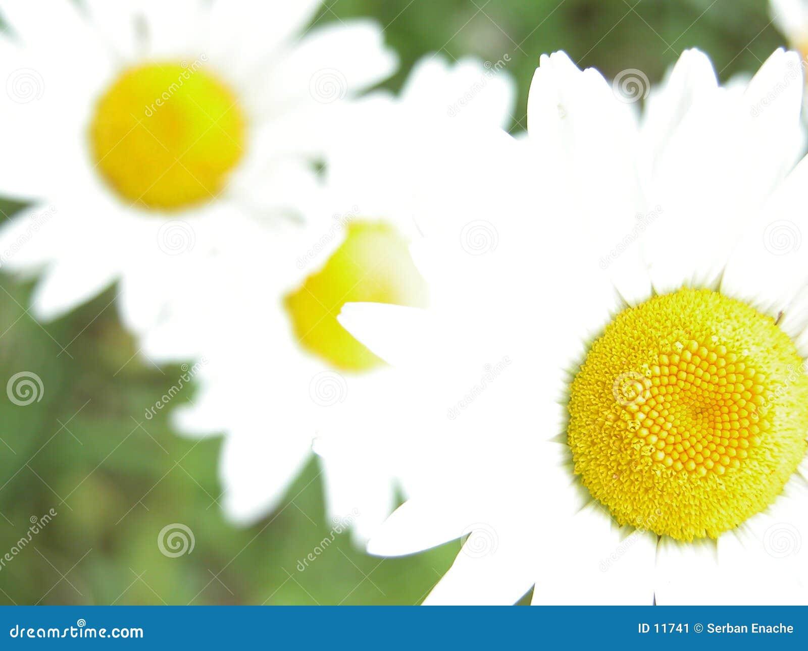 Overxposed daisies