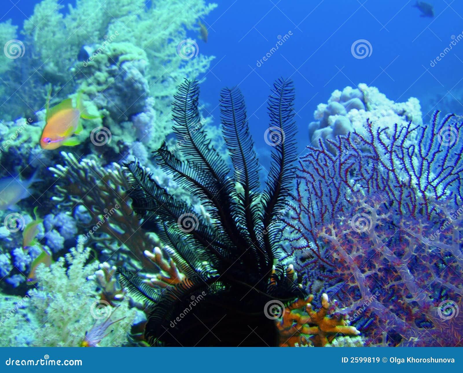 Overzees lelie en koraal