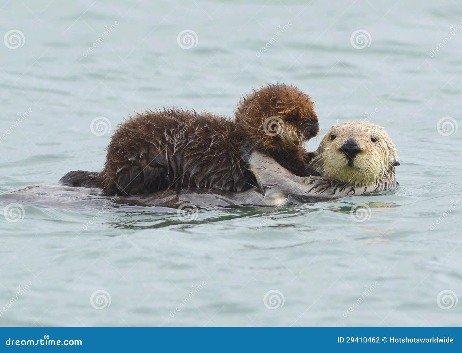 Overzeese ottermoeder met aanbiddelijke baby/zuigeling in de kelp, grote su