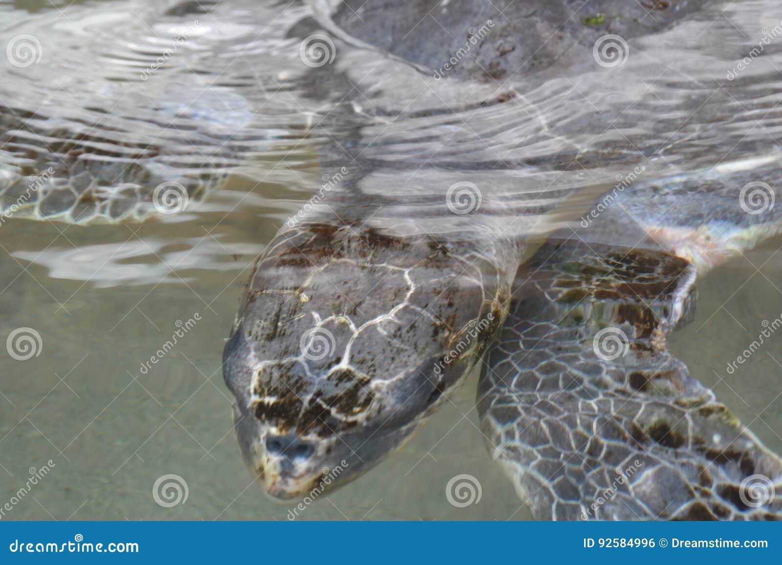 Overzeese schildpad