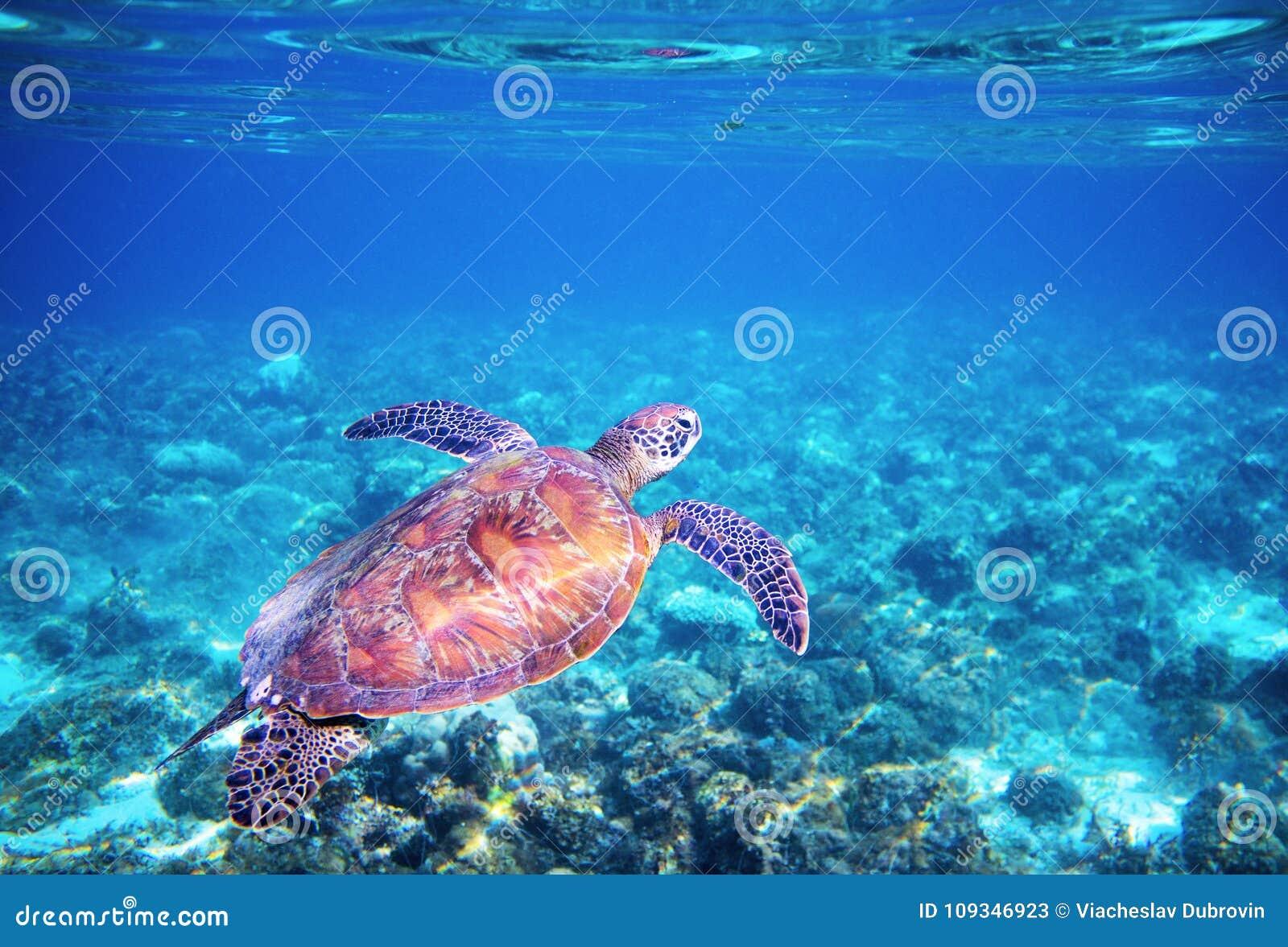 Overzeese schildpad in blauw water boven koraalrif Tropische overzeese aard van exotisch eiland
