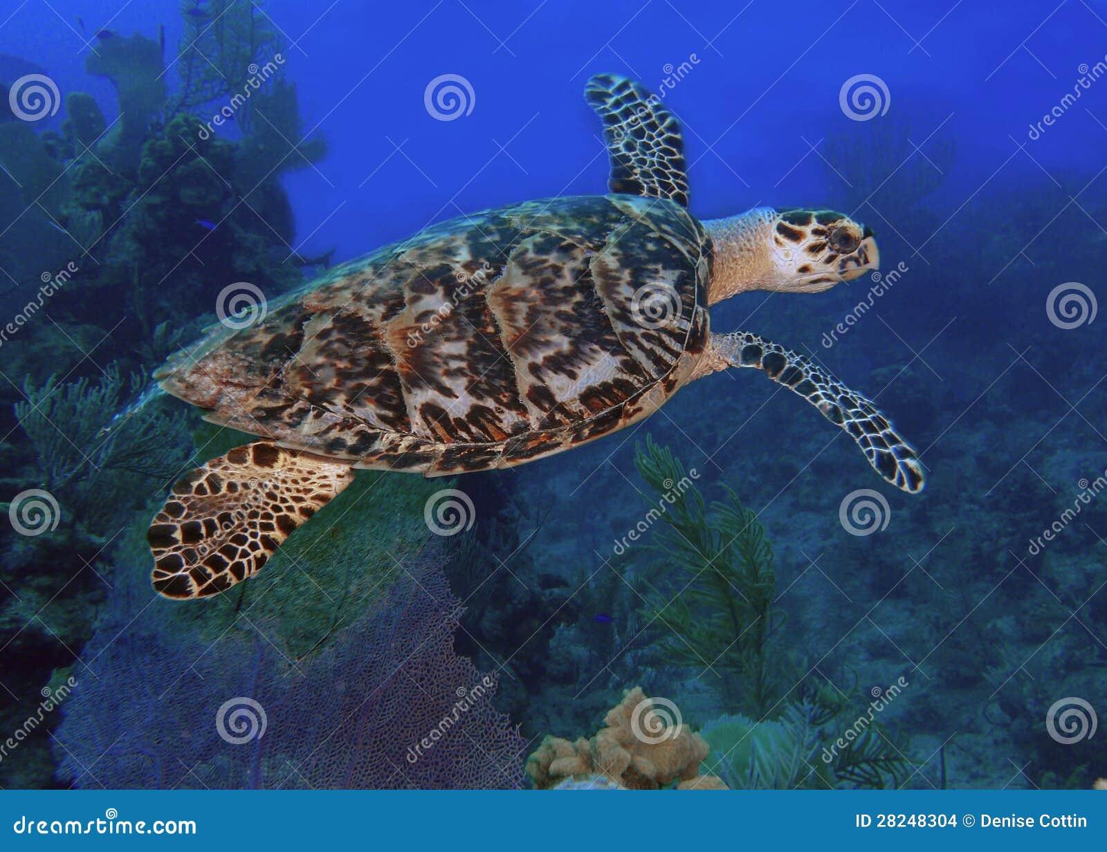 Overzeese schildpad in blauwe oceaan