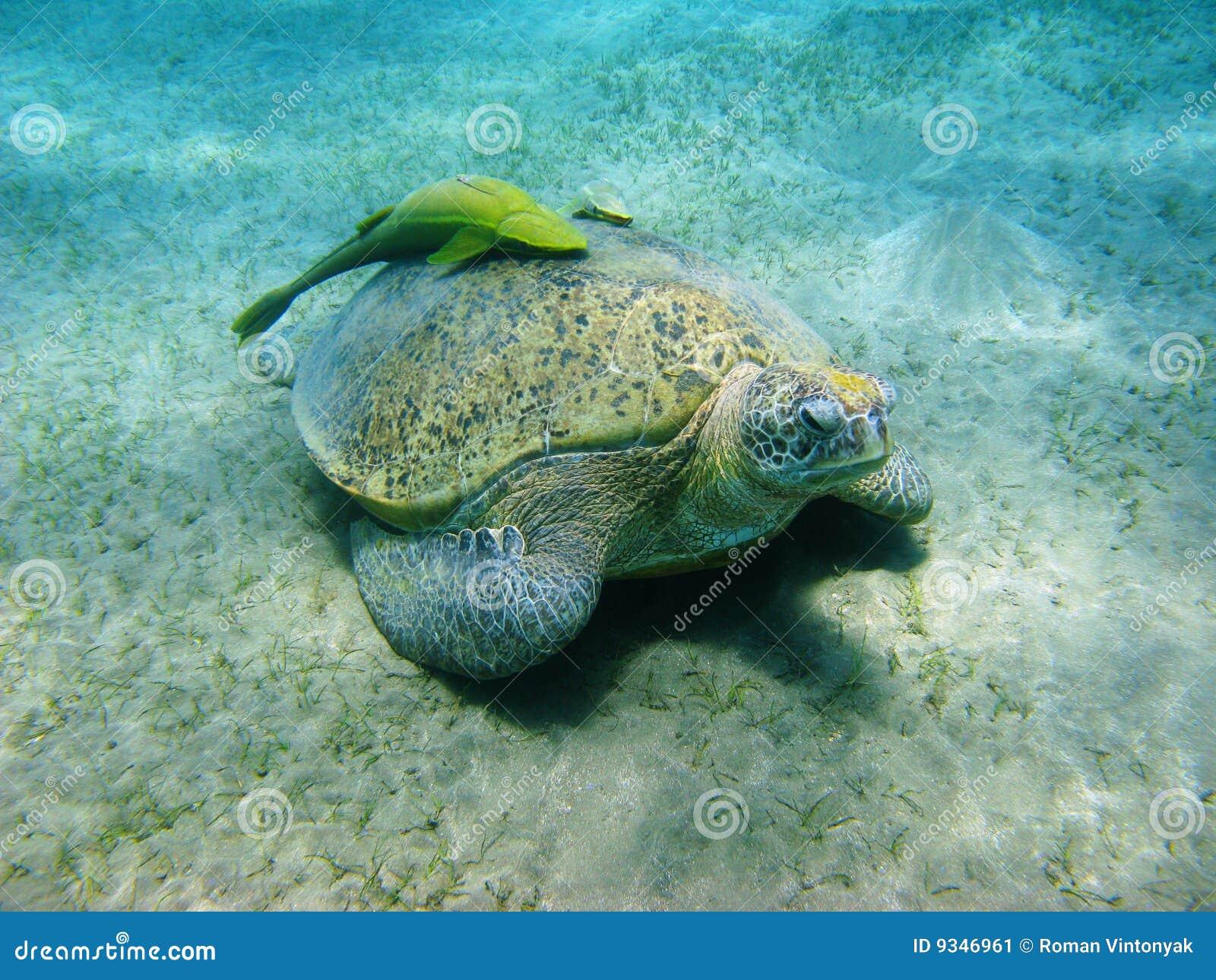 Overzeese schildpad en suckerfishes