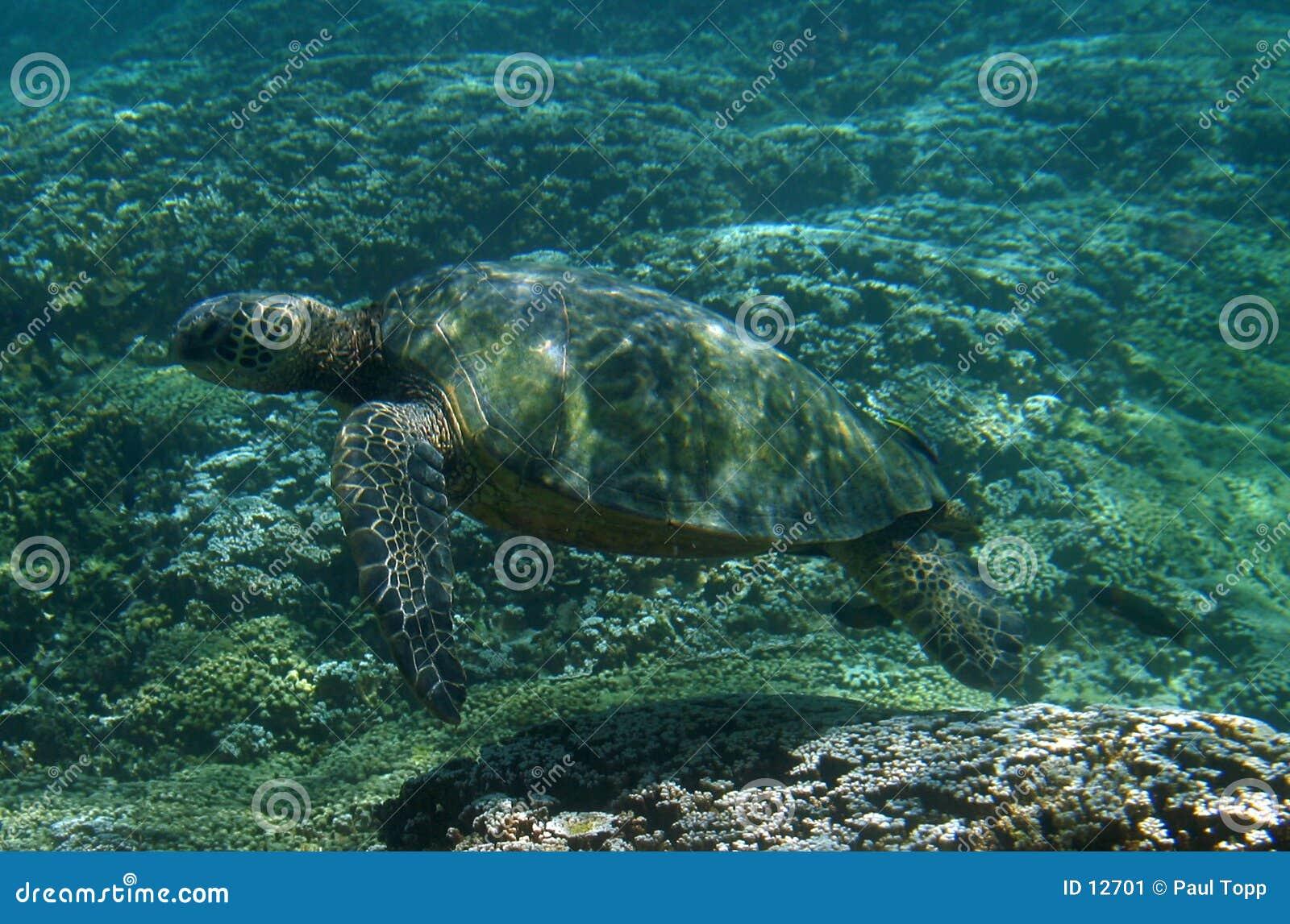 Overzeese Schildpad Onderwater