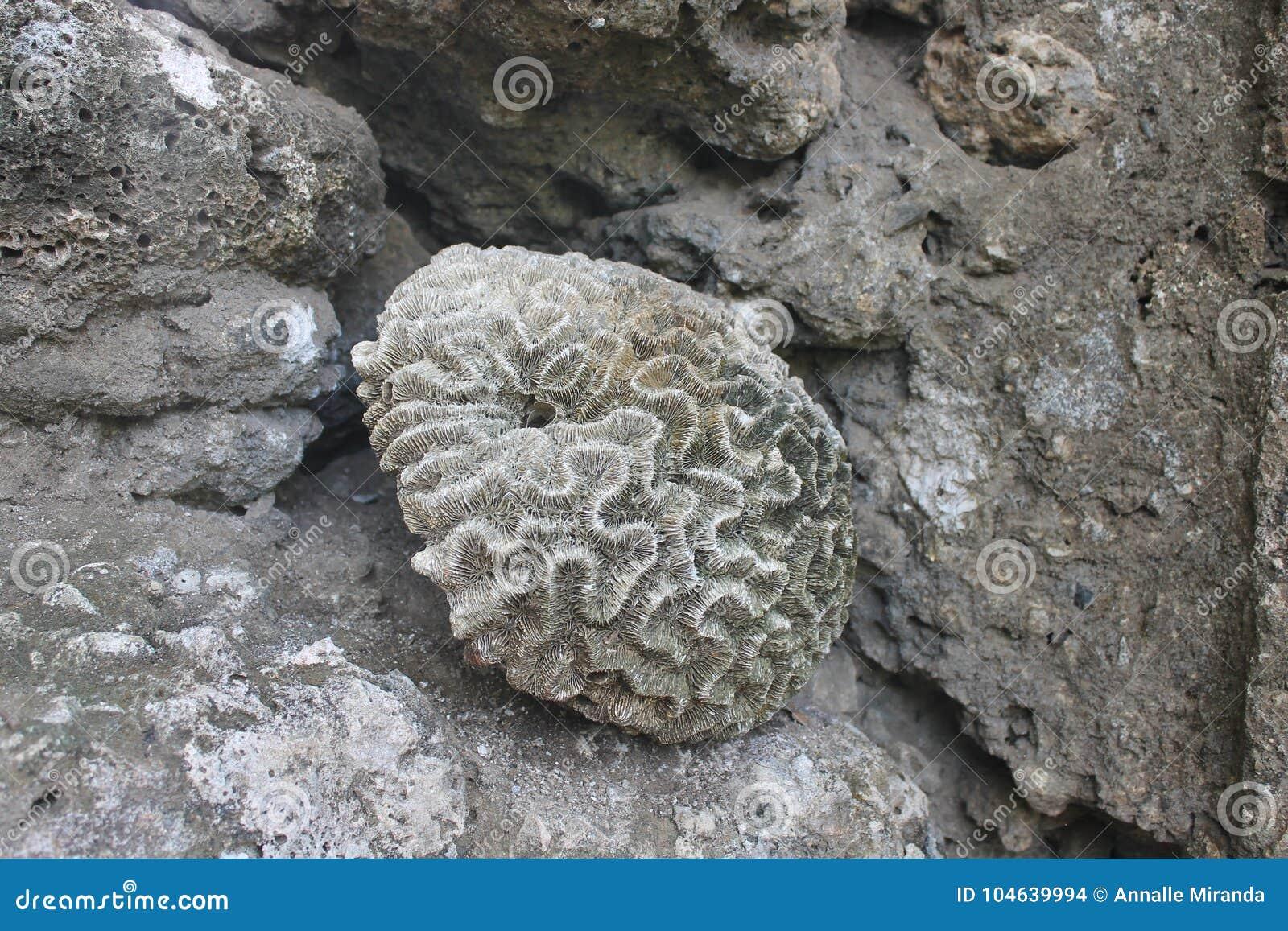 Download Overzeese shell stock foto. Afbeelding bestaande uit overzees - 104639994