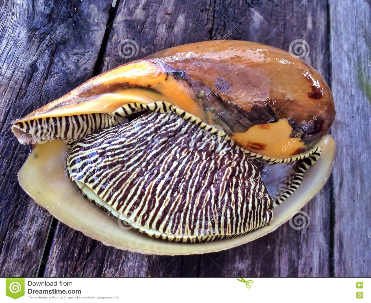 Overzeese shell close-up