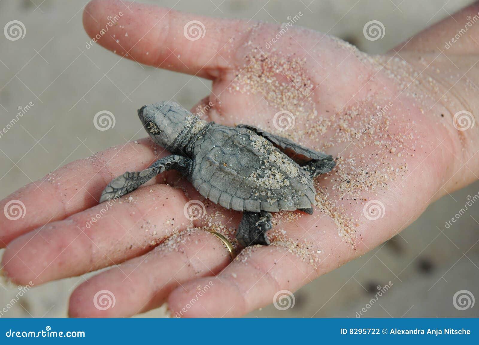 Overzeese Van De Baby Schildpad In De Hand Van De Vrouw