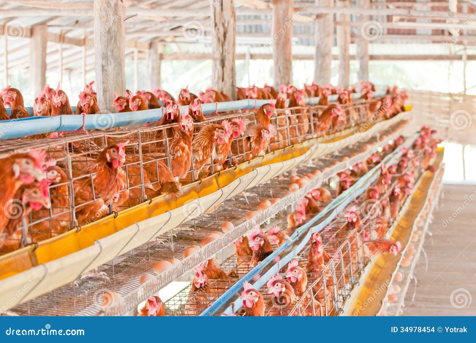 Ovos da galinha da exploração agrícola.