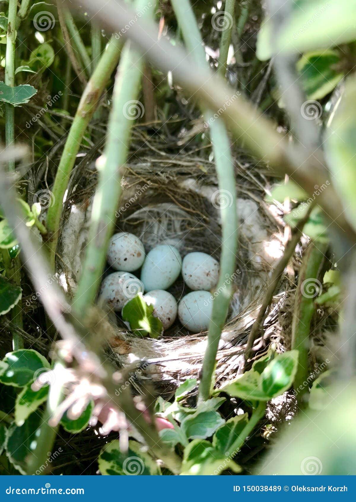 Ovos do escudo forte oval que espera sua mãe no ninho