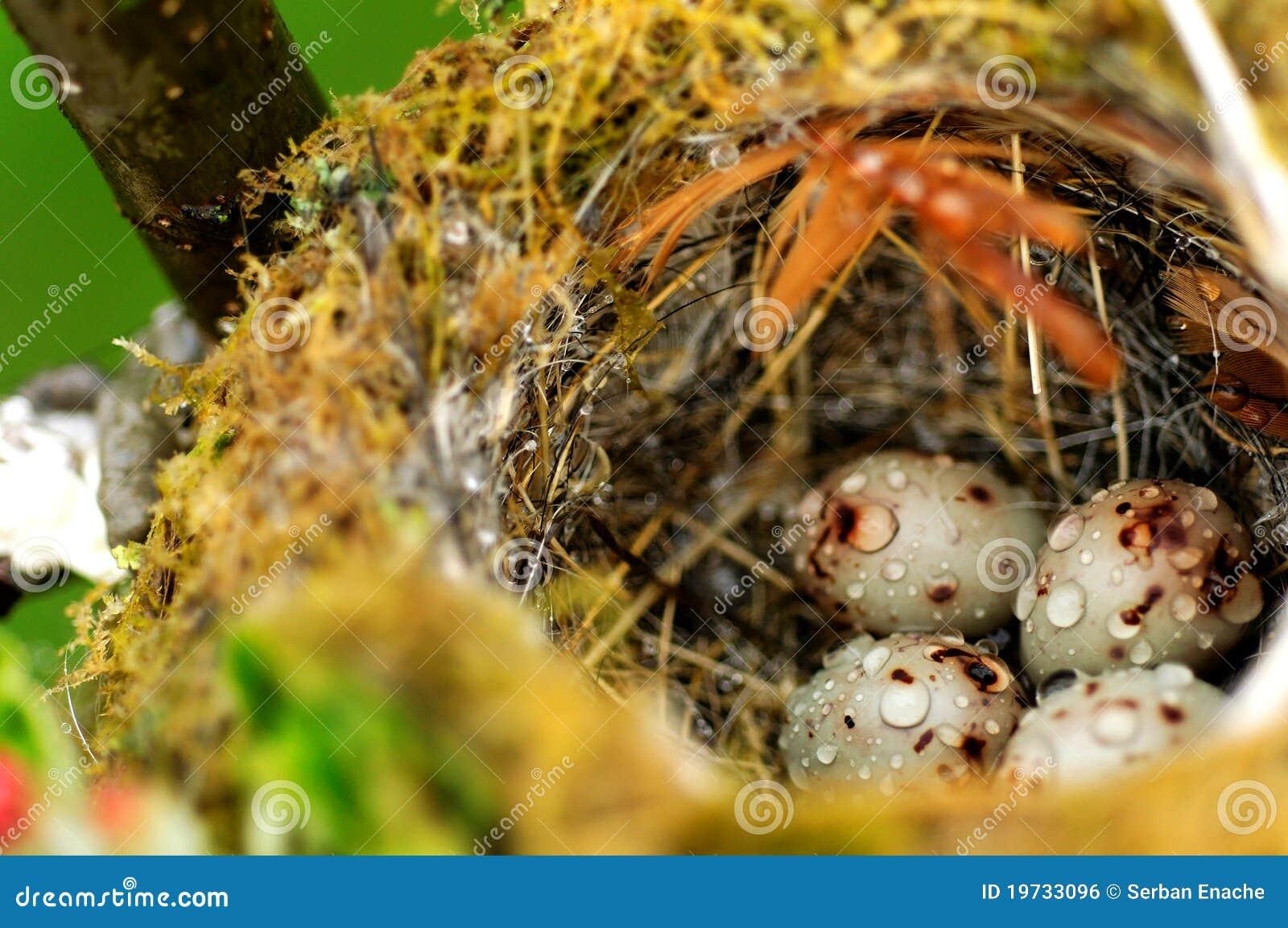 Ovos do pássaro no ninho
