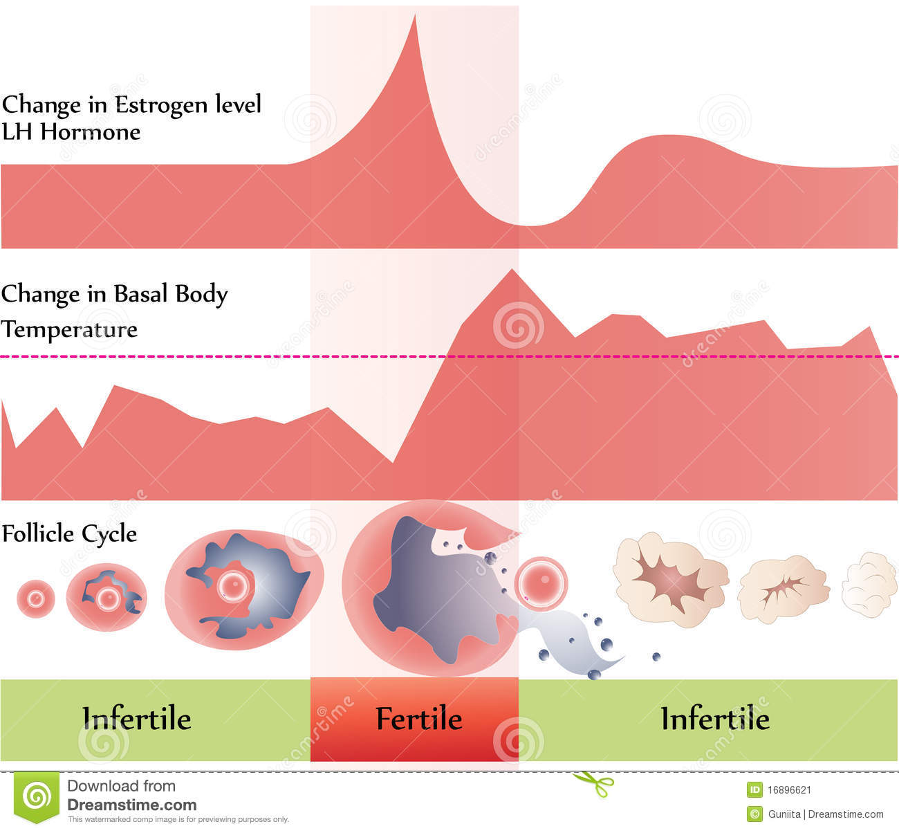Ovulation chart stock vector. Illustration of infertility ...