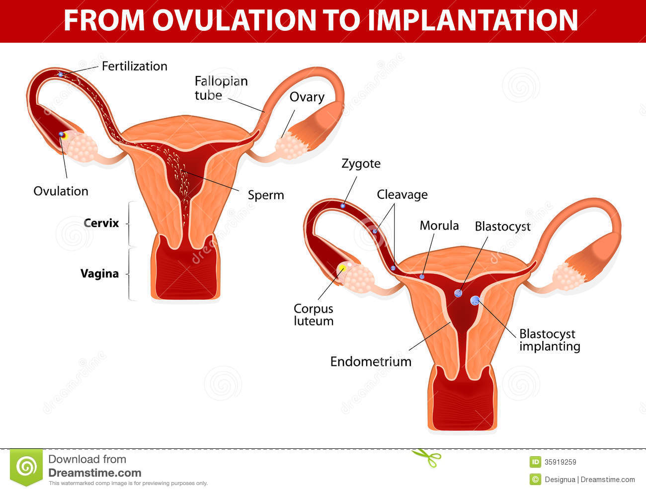of the embryo. Fertilization. From ovulation to implantation