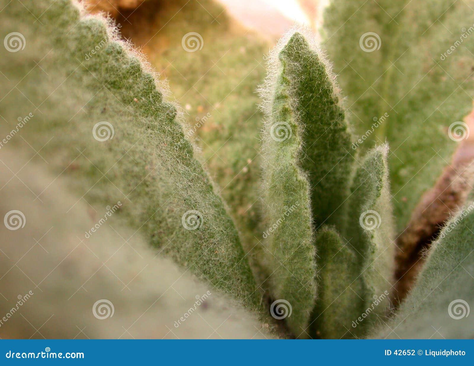 Owłosiona zamazana liść roślinnych