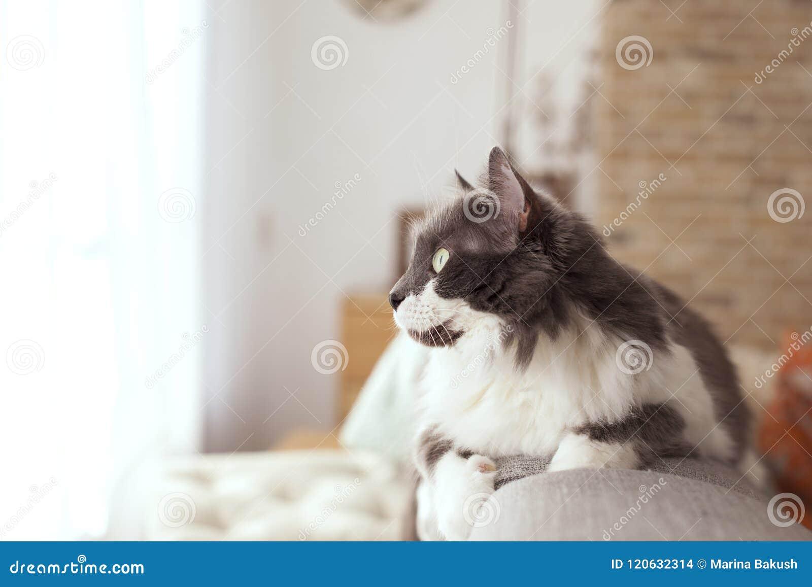 Owłosiony kot na leżance w domu pet kosmos kopii