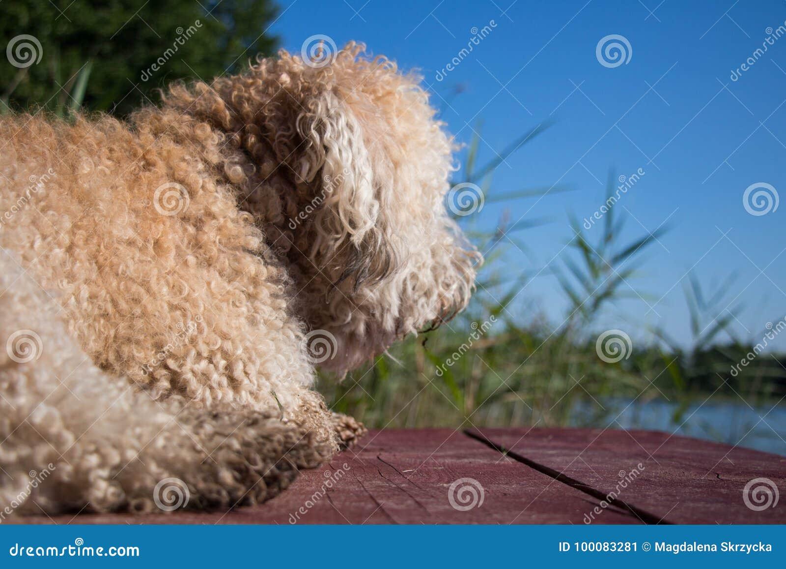 Owłosiony pies przeciw, płochy przy suuny letnim dniem i
