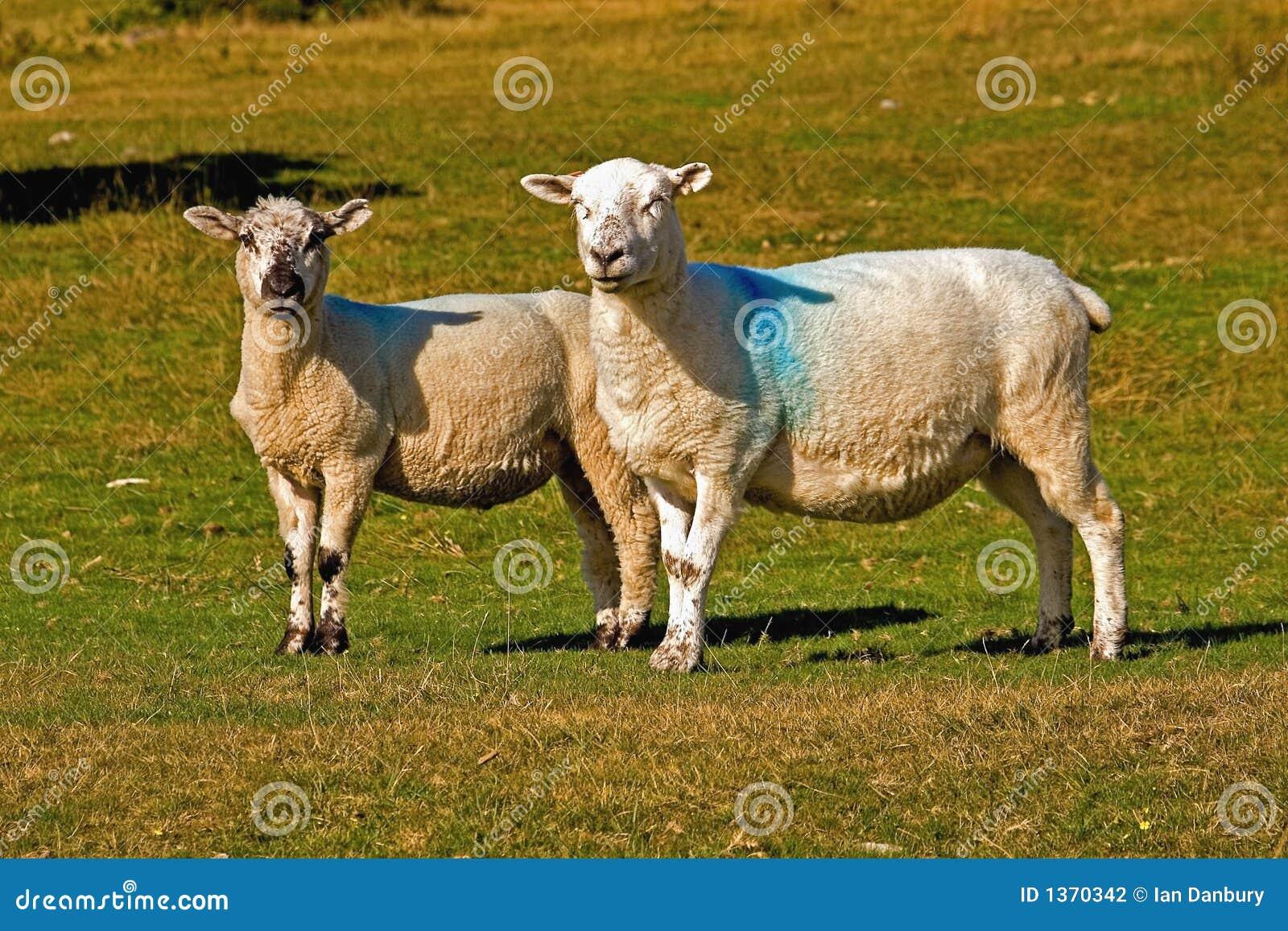Owce dartmoor
